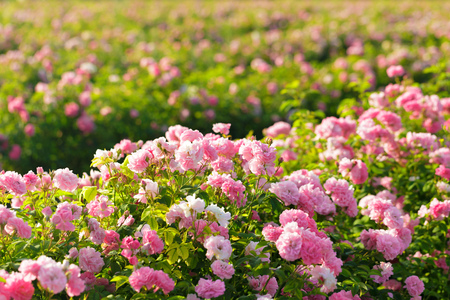 Photo pour pink rose bush closeup on field background - image libre de droit