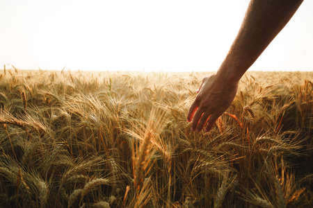 Photo pour Male hand touches wheat ears on field at sunset - image libre de droit