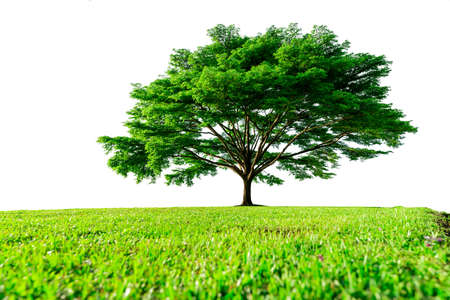 Photo pour Big green tree with beautiful branches and green grass field isolated on white background. Lawn in garden on summer. Sunshine to big tree on green grass land. Nature landscape. Park decoration. - image libre de droit