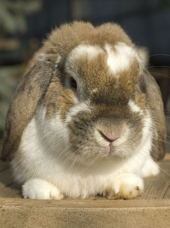 Little rabbit funny portrait with floppy ears sitting