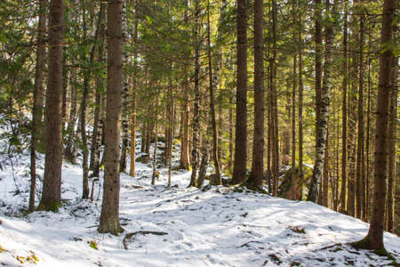 Photo for Trail in the winter coniferous forest near the Carpathian village Yaremche. Ukraine - Royalty Free Image