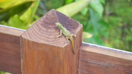 A green gecko on a fence in the Dominican Republic