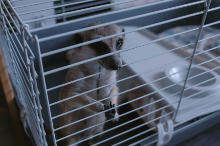 Meerkat is trying to get out of the cage. Pets at home.
