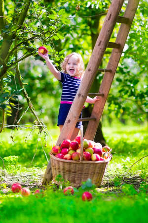 Child picking apples on a farm climbing a ladder. Little girl playing in apple tree orchard. Kids pick organic fruit in a basket. Kid eating healthy fruits at fall harvest. Outdoor fun for children.