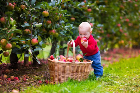 Photo for Adorable baby boy picking fresh ripe apples in fruit orchard. Children pick fruits from apple tree. Family fun during harvest time on a farm. Kids playing in autumn garden. Child eating healthy fruit. - Royalty Free Image