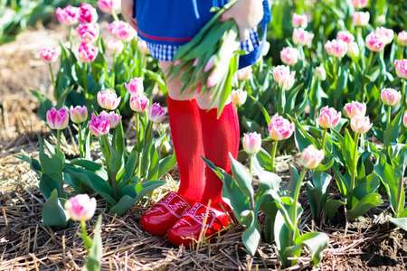 Child in tulip flower field with windmill in Holland. Little Dutch girl in traditional national costume, wooden clogs, dress and hat, with flower basket. Kid in tulips fields in the Netherlands.