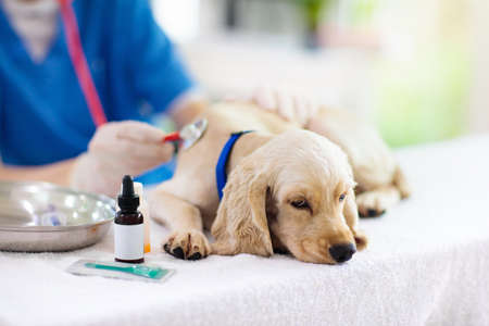 Photo pour Vet examining dog. Puppy at veterinarian doctor. Animal clinic. Pet check up and vaccination. Health care for dogs. - image libre de droit