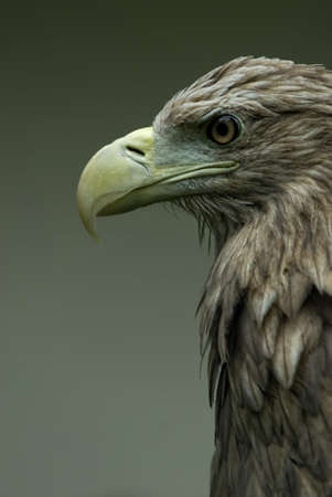 portrait of the White-tailed Sea-eagle