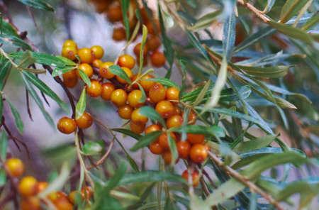 sea-buckthorn Branch l orange berries