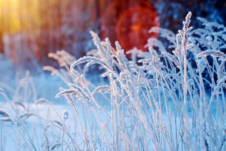 Winter scene .Frozenned flower .pine forest and sunset