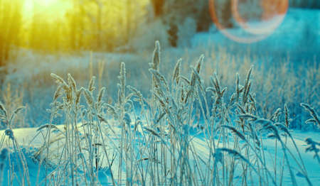 Photo for Winter scene .Frozenned flower .pine forest and sunset - Royalty Free Image