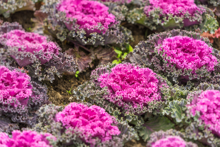 Purple ornamental cabbage on the street in city of China.