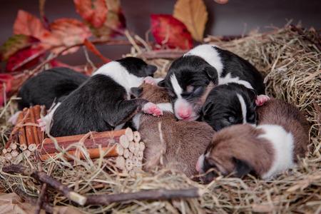 Newborn basenji puppies, first day