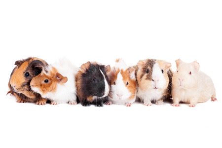 Group of 6 guinea pigsの写真素材