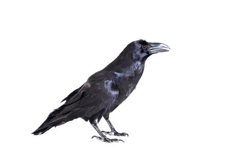 Photo pour Common Raven isolated on white - image libre de droit