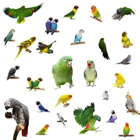 Set parrots and parakeets