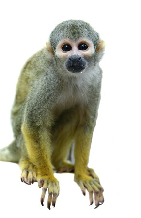 Common squirrel monkey on white