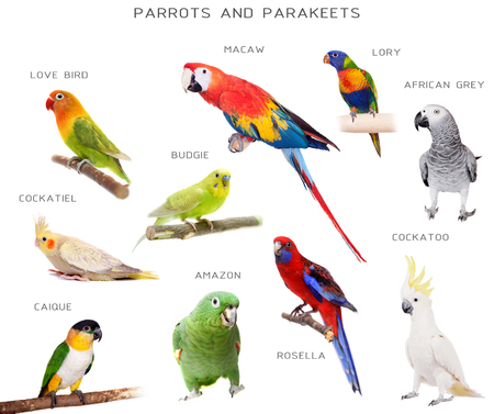 Parrots and parakeets education set, isolated on white background