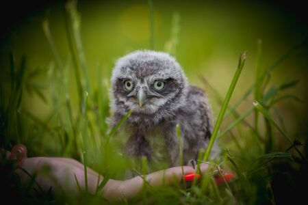 Photo for Little Owl Baby, 5 weeks old, on grass - Royalty Free Image