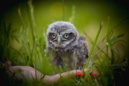 Photo pour Little Owl Baby, 5 weeks old, on grass - image libre de droit