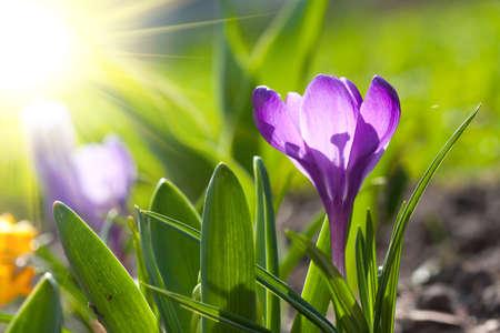 beautiful spring crocus and sun