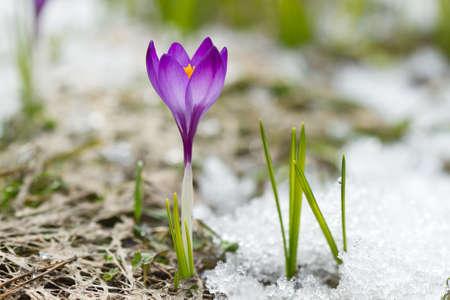 Spring crocus on the snow