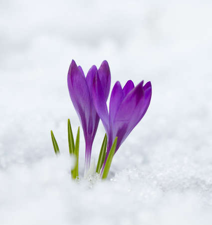 Violet spring crocus growing in the snow