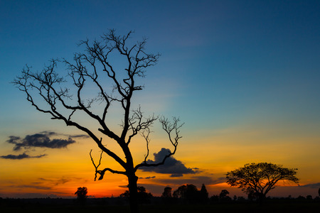 Big tree silhouette sunset  sky