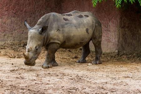 White Rhino (Ceratotherium simum) standing in the zoo