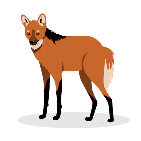 Illustration pour Maned wolf in realistic style standing on a white background. Animals of south america. - image libre de droit
