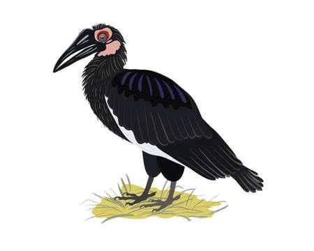 Illustration pour Kaffir raven standing on a grass. Rare birds of Africa - image libre de droit