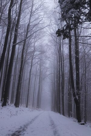 Forest path under snow cover with a magical and dark atmosphere that leads to the top of the Prasiva mountain, in Czech republic, europe. Forest in the fog. Freak of nature.