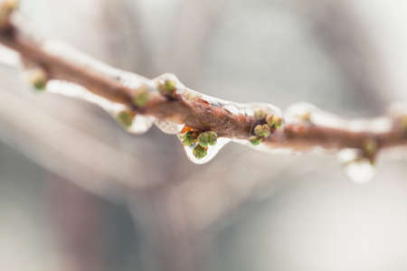 Photo for Frozen leaves after ice storm. Unusually cold weather in Italy. Leaf covered with ice macro shot. Climate change photo. - Royalty Free Image