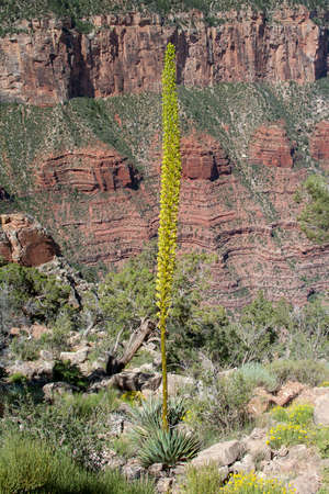 Flowering Century Plant on South Kaibab Trail in Grand Canyon National Park, Arizona.
