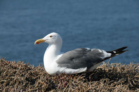 Photo for Western Gull - Larus occidentalis - on East Anacapa Island in Channel Islands National Park, California on sunny summer afternoon. - Royalty Free Image