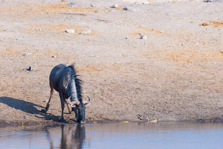Blue Wildebeest kneeling and drinking from waterhole in daylight. Wildlife Safari in Etosha National Park, the main travel destination in Namibia, Africa.