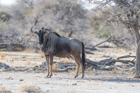 Blue Wildebeest walking in the bush. Wildlife Safari in the Etosha National Park, famous travel destination in Namibia, Africa.