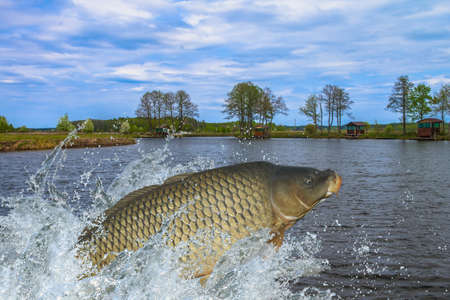 Foto de Carp fish jumping with splashing in water - Imagen libre de derechos