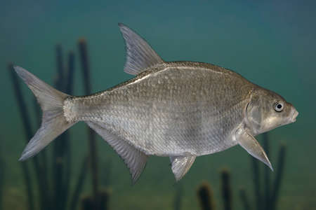 Photo pour Freshwater bream fish isolated on natural underwater background - image libre de droit
