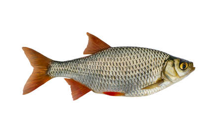 Photo for Fresh alive Common Rudd redfin fish isolated on white background - Royalty Free Image