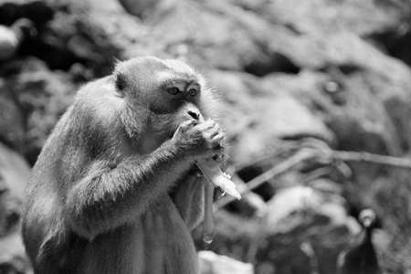 monkey in black and white