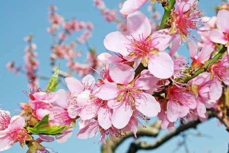 pink peach flowers bloom in spring in the Italian hills