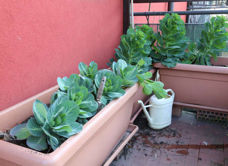 plant of cabbage and leaves in vases of an urban garden on the terrace of the apartment in the city