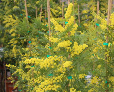 beautiful yellow mimosa flowers for International Women's Day