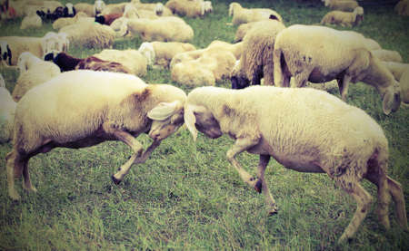 two sheep with woolen veil clash headlong during the loving season with vintage effect