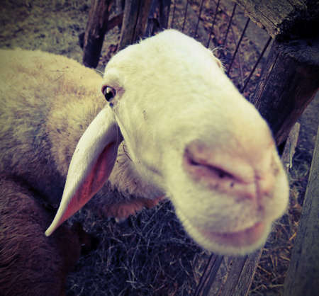 muzzle of a sheep photographed with fisheye lens  with vintage style effect