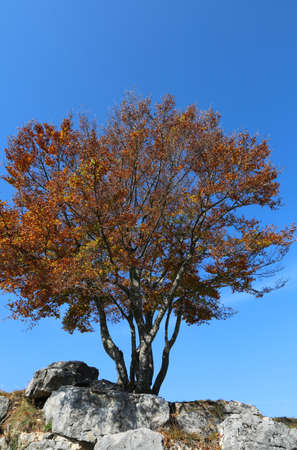 isolated tree with dried leaves in the fall and the blue sky in the background