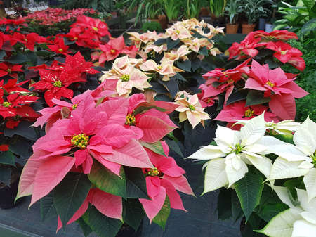 Photo for many Christmas stars also called Poinsettia for sale in the greenhouse to decorate the house - Royalty Free Image