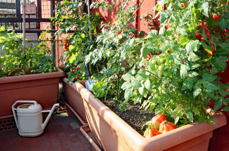 Photo pour cultivation of red small Tomatoes in the pots of an urban garden on the terrace of an apartment - image libre de droit