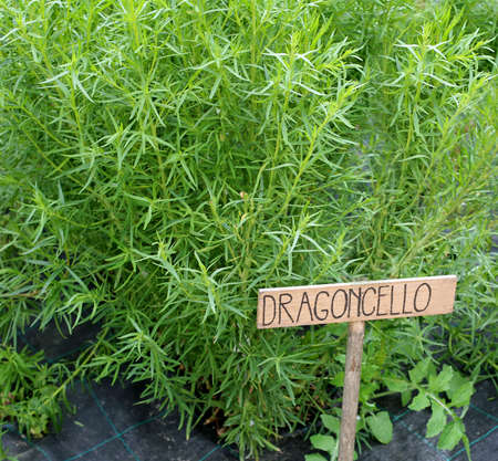 plants of green TARRAGON called Dragoncello in Italian Language